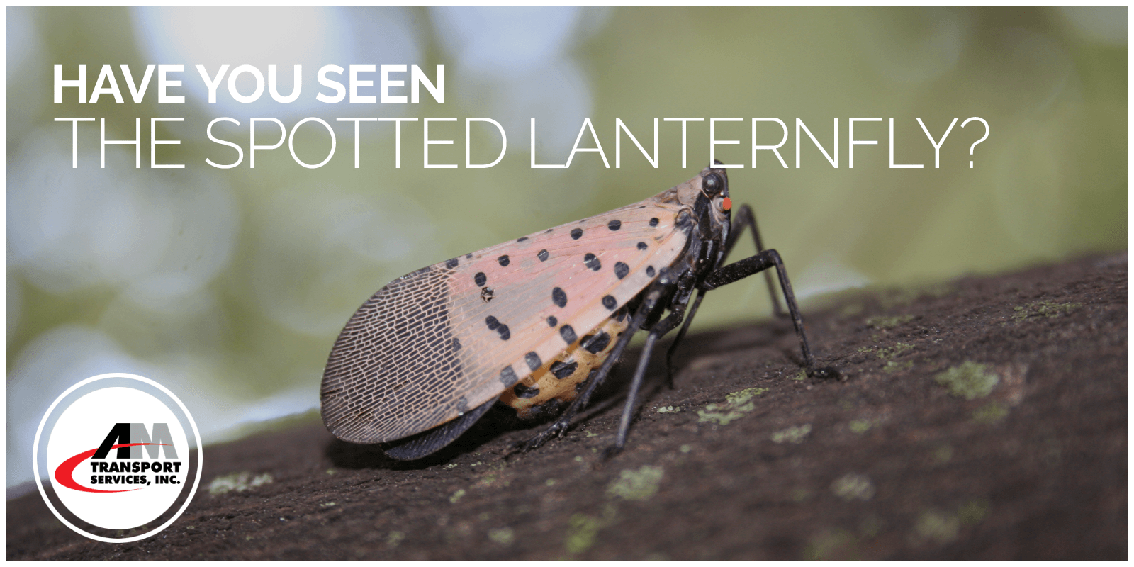 picture of spotted lanternfly